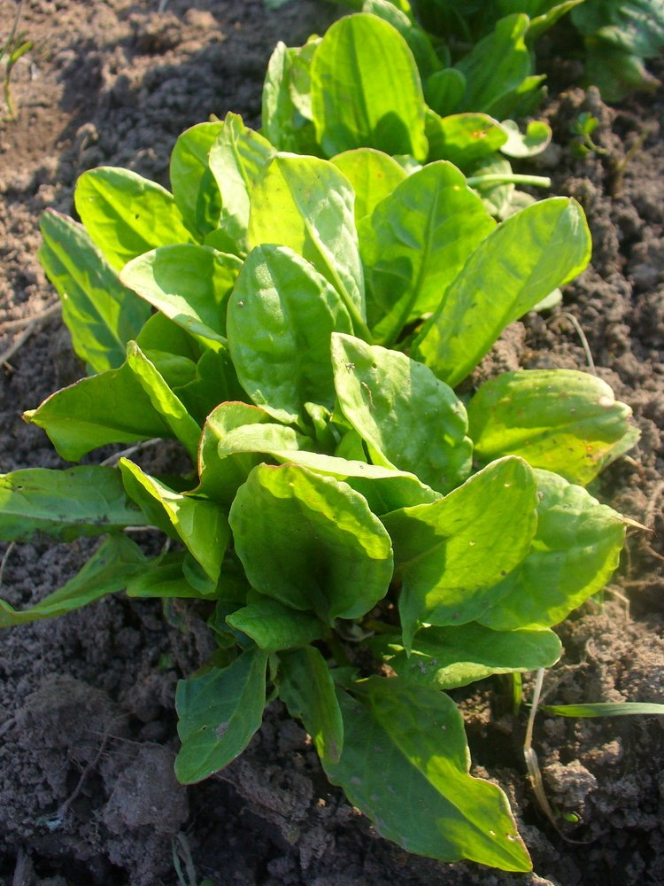young sorrel leaves