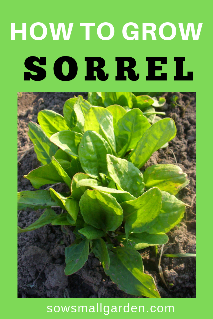 how to grow sorrel in your small garden