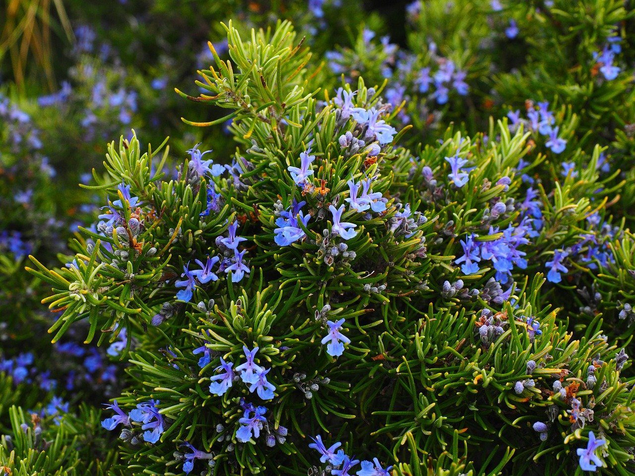 rosemary - perennial culinary herb