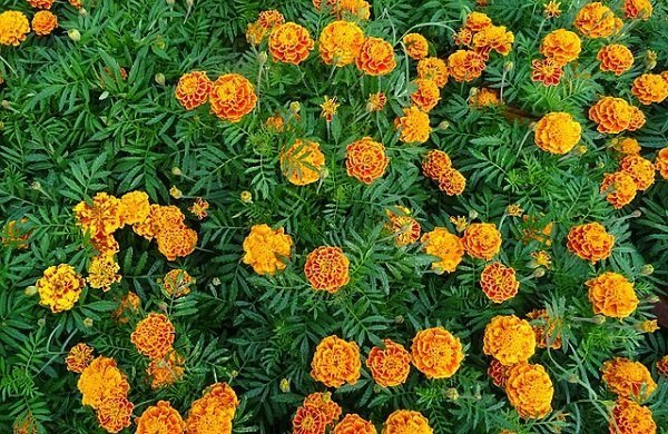 French marigold repels pests