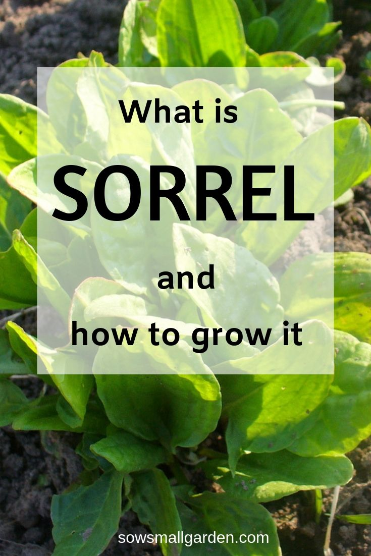 growing sorrel