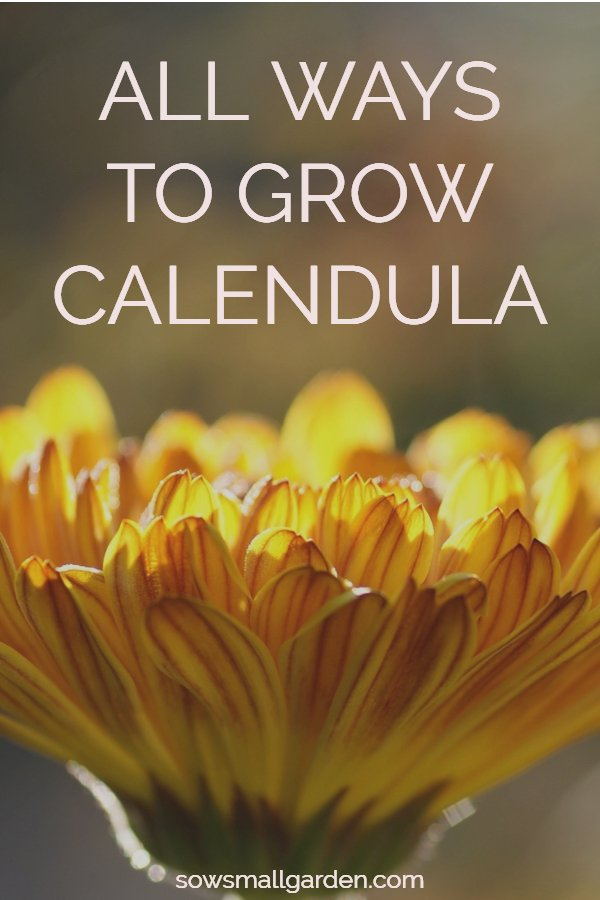 Calendula flower: how to plant, grow, and harvest