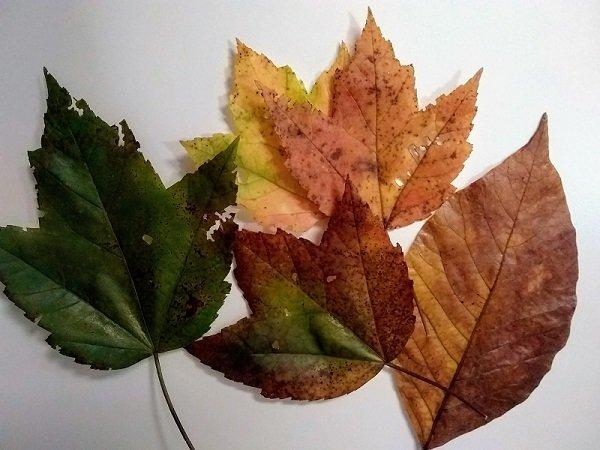 leaves preserved in glycerin - result