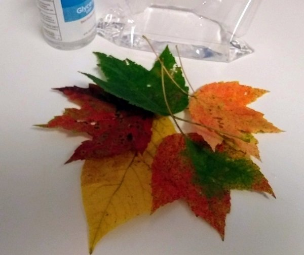 getting ready to preserve leaves in glycerin