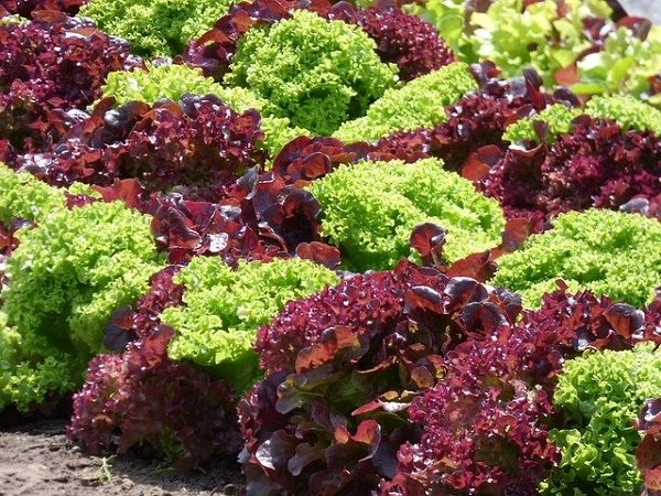 densely planted lettuce