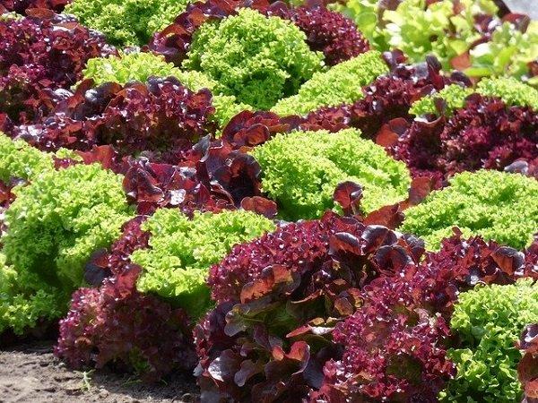 densely planted lettuce