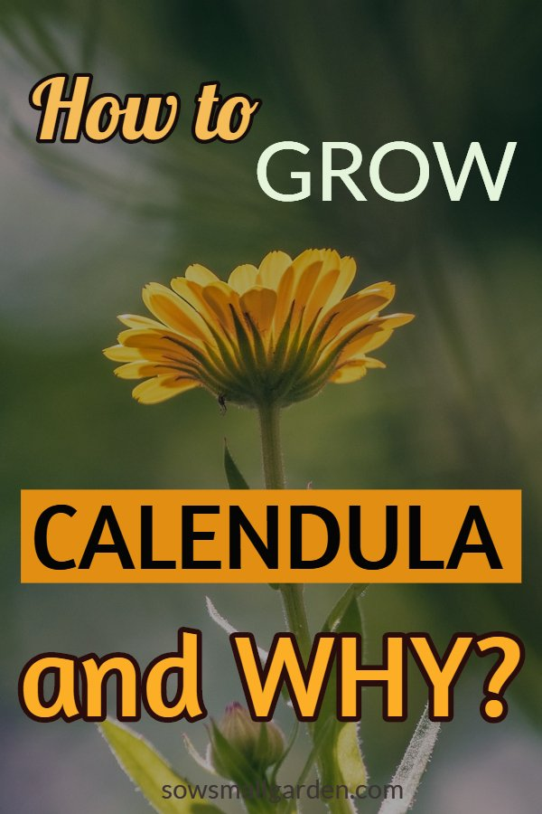 How to grow calendula - easy to grow plants - healing plants