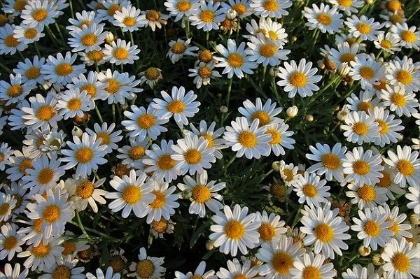 herbs for a garden: chamomile