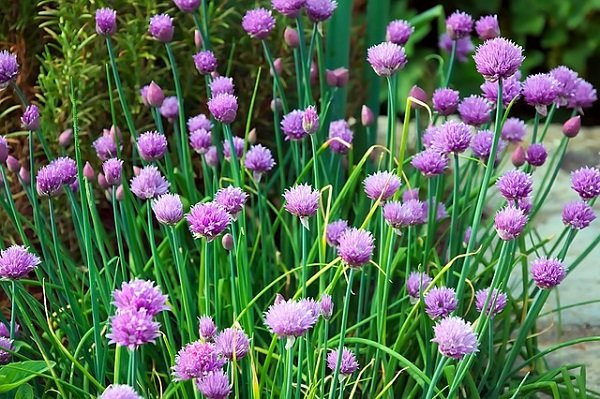 herbs for a garden: chives