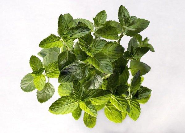 herbs for a garden: spearmint