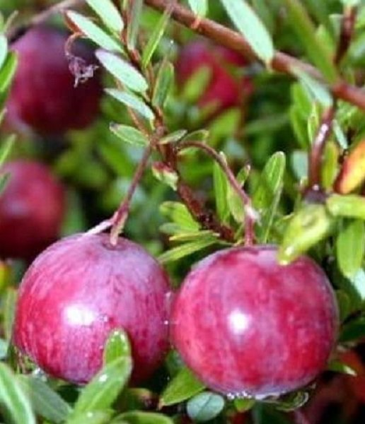 buy American cranberry plant online