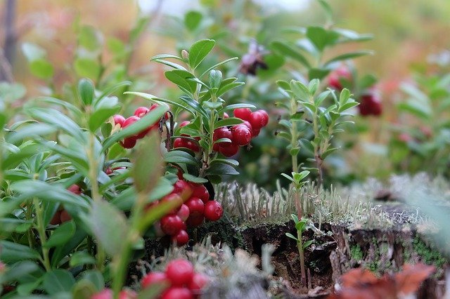 how to grow cranberry at home