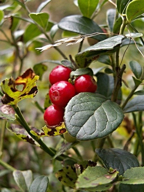 Cranberry fruit: how to grow