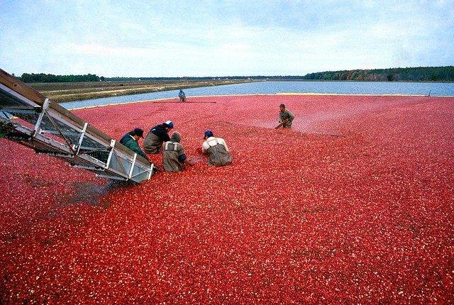 Do cranberries grow in water?