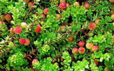 How to Grow Cranberries at Home