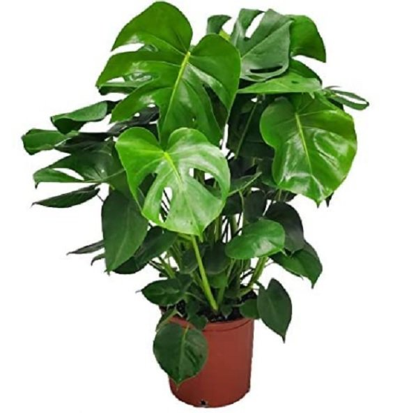 monstera : indoor plant that grows fast