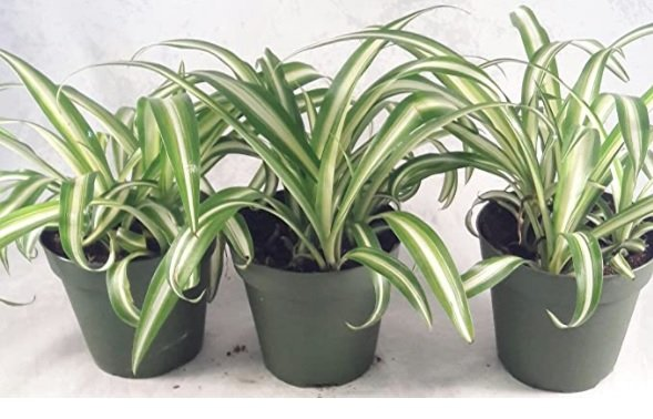 fast growing plants: spider plant