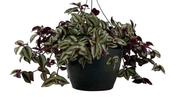 tradescantia - plant that grows fast