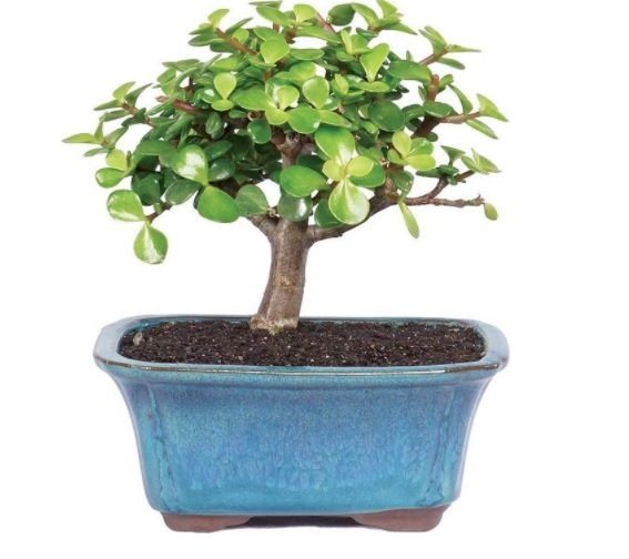 jade plant - toxic to cats