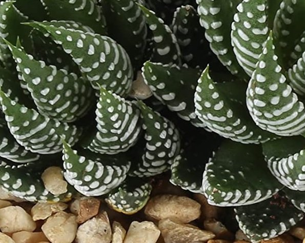 Zebra haworthia - safe houseplant for cats