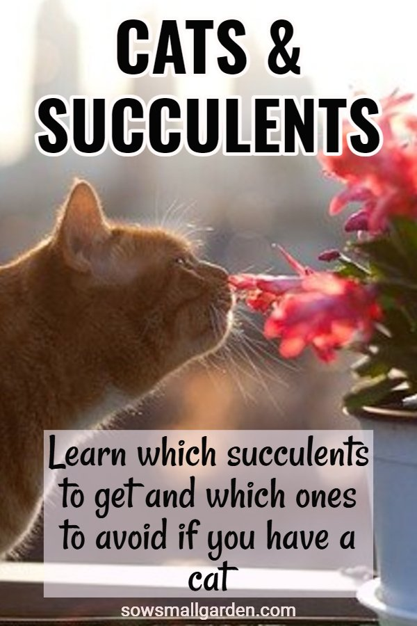 cats and succulents: cat safe succulents and toxic to cats succulents
