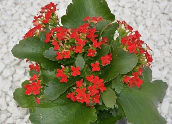 kalanchoe toxic to cats