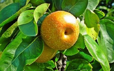Asian Pear Trees: All You Need to Know to Grow Asian Pears at Home