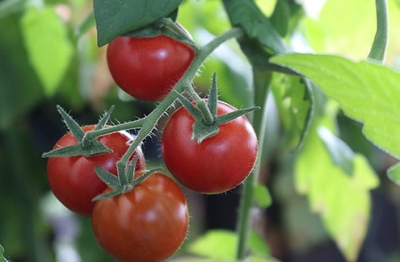 What size grow bag for tomatoes should you get?