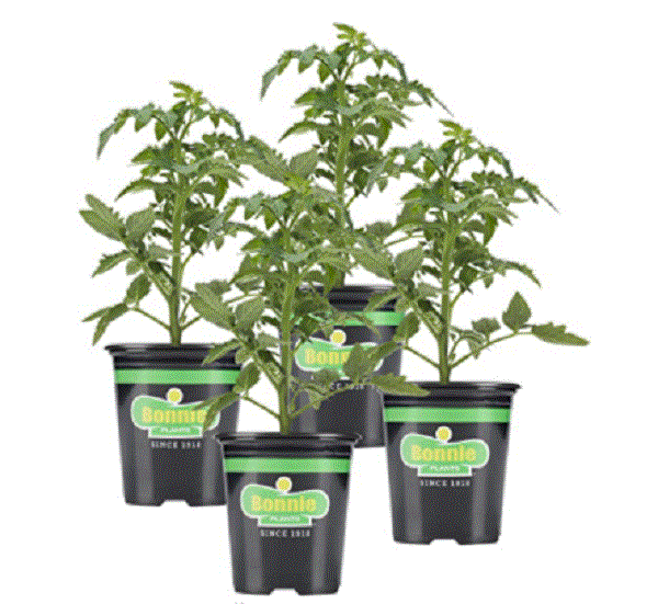 live tomato plants from amazon