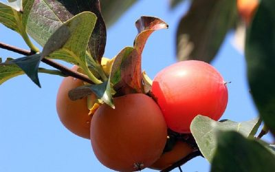 Asian Trees: 9 Asian Fruit Trees for a Home Garden