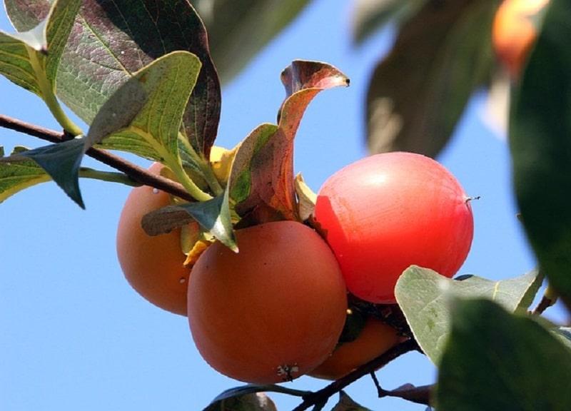 Asian fruit trees - Asian persimmon