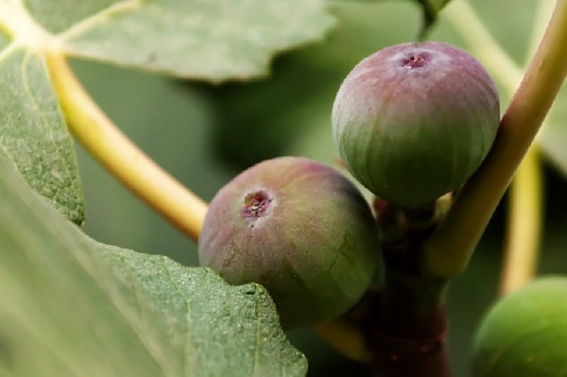 Asian Frut trees you can grow in US