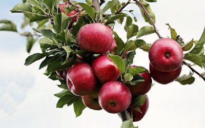What Apples Are Sweet? (10 Sweet Apple Varieties)