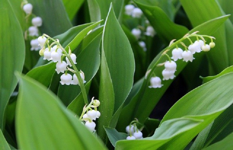lily of the valley - popular in France