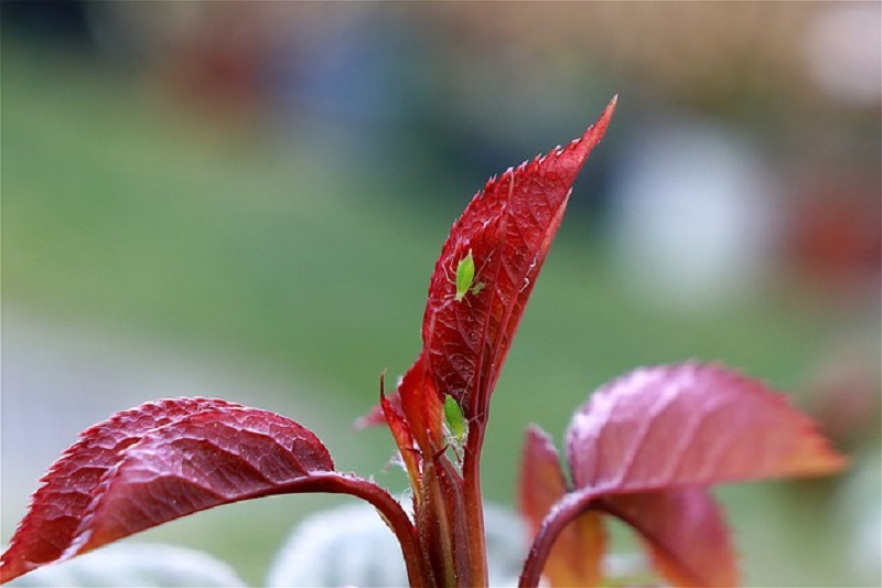 insects pests - aphids