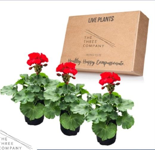 geranium plants - good cat repellant plants