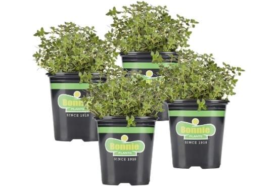 lemon thyme plants