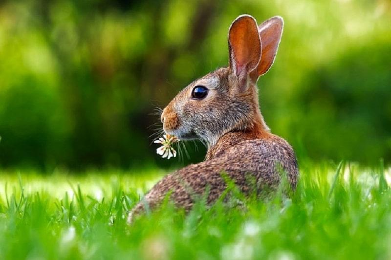 rabbit - garden pest