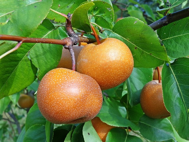 Asian pears on a tree