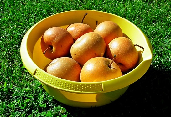Asian pears harvested