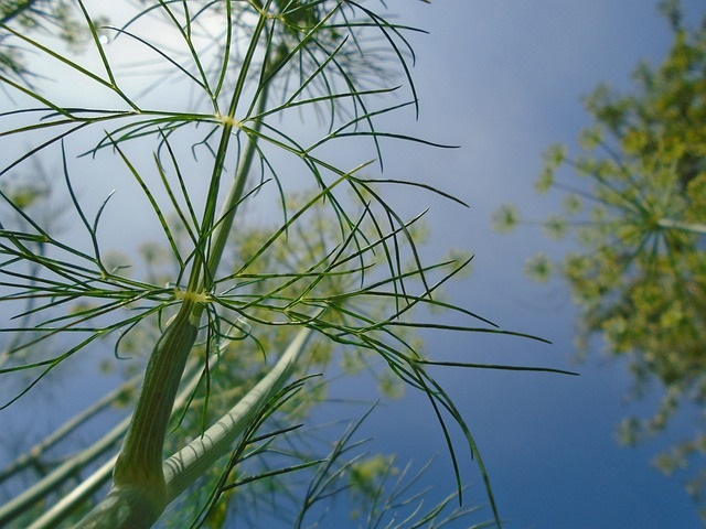 dill weed plant