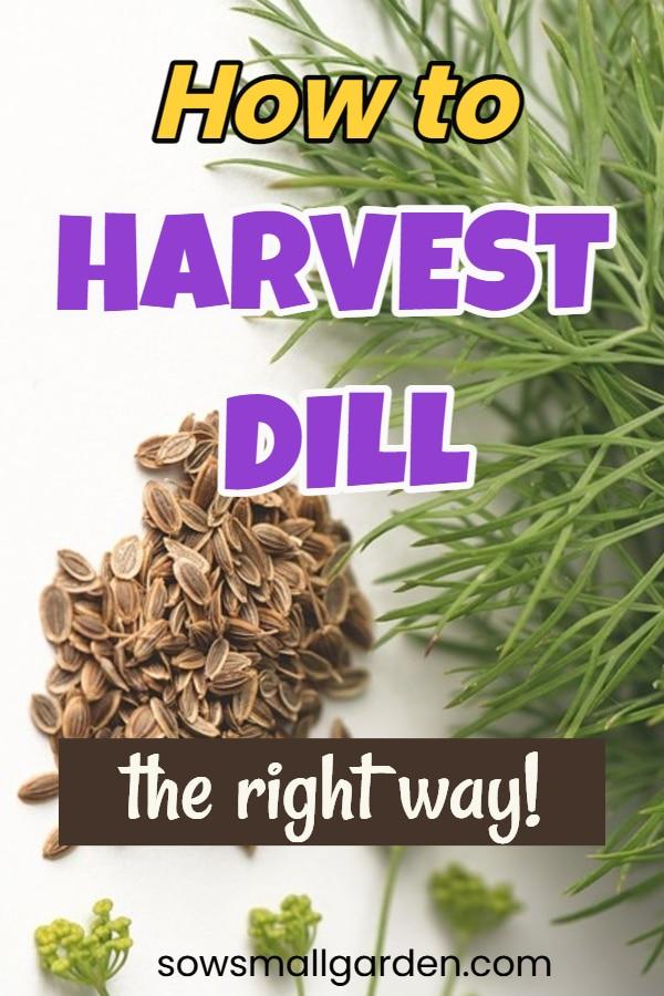 harvesting dill