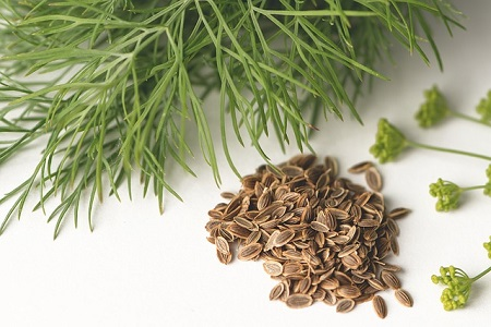 How to Harvest Dill (Without Killing the Plant)